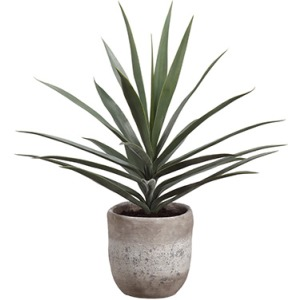 Yucca Plant in Cement Planter