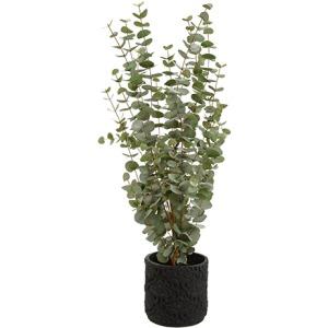 Eucalyptus in Planter