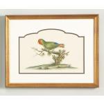 32-0021b Guinea Parakeet