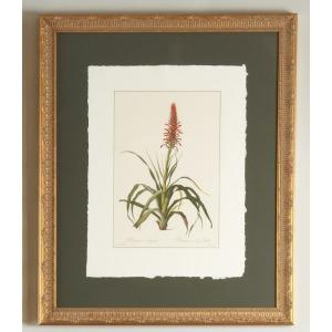 30-0078b Pitcairnia Latifolia