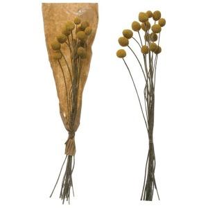 Dried Natural Craspedia Bunch - Yellow