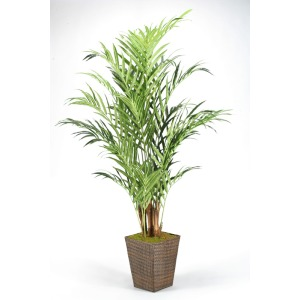8′ Kentia Palm in Square Basket