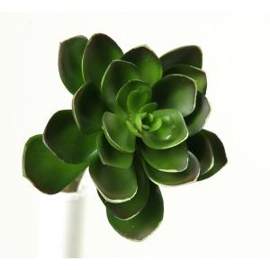 6″ Small Green Echeveria