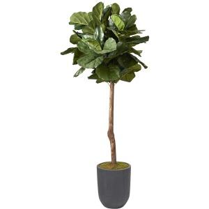6' Brazilian Fiddle Leaf Fig Tree in Round Grey Planter