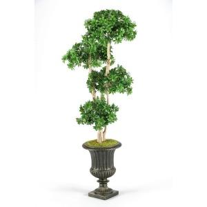 7\' Pittosporum topiary in black resin urn