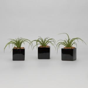Curly Tilandsia in Black Ceramic Cube – Set of 3