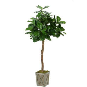 6′ Fiddle Leaf Fig Tree in Weathered Wood Box Planter