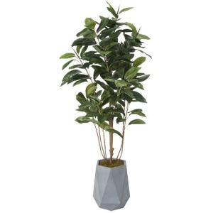 6′ Rubber Tree in Grey Resin Planter