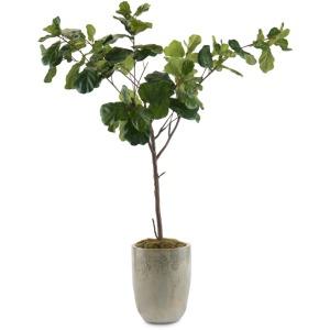 102X68X50 Fiddle Leaf Fig B