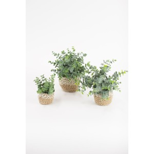 Artificial Eucalyptus Plants in Woven Pots - Set of 3