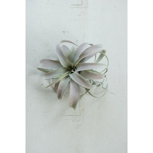 Extra Large Grey Air Plant